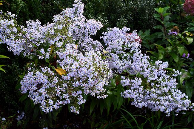 Aster cordifolius or Symphyotrichum cordifolium