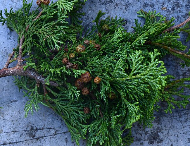 Cones of chamaecyparis