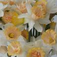 Daffodil 'Petit Four'