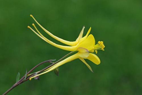 Aquilegia longissima1