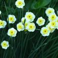 Daffodil 'Sun Disc'