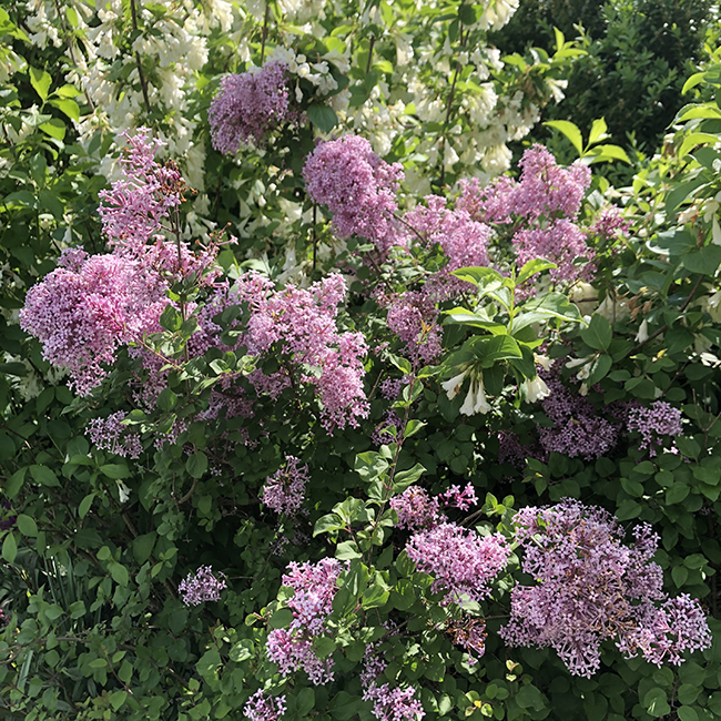 Lilac 'Bloomerang' with Weigela 'April Snow'