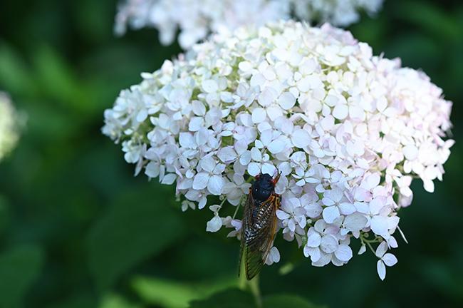 Hydrangea with cicada