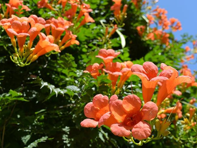 Campsis or trumpet vine