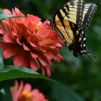 Zinnia with Eastern tiger swallowtail