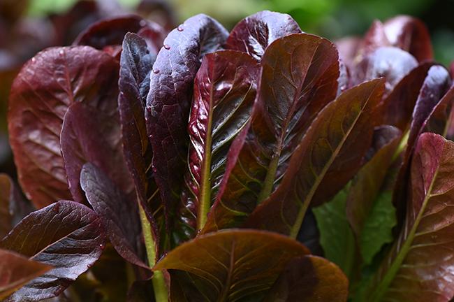Lettuce Romaine 'Truchas'
