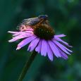 Echinacea with cicada