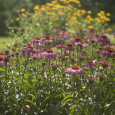 Echinacea in garden of Ed and Pat Peters