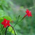 Cardinal climber or Ipomoea multifida