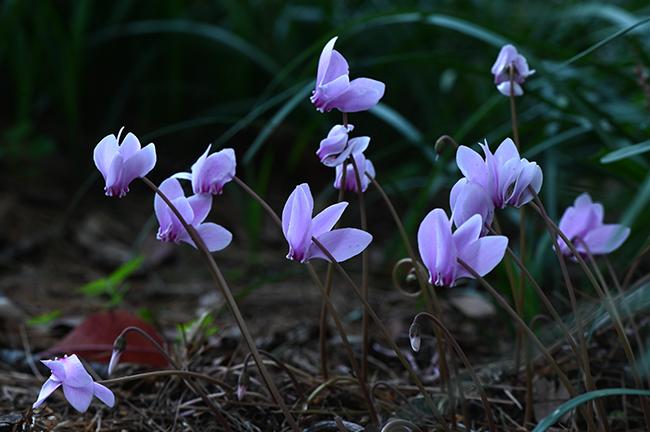 Cyclamen hederifolium pink