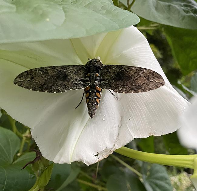 Sphinx moth on moonvine